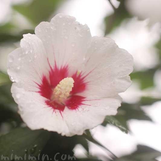 ムクゲ(白色)