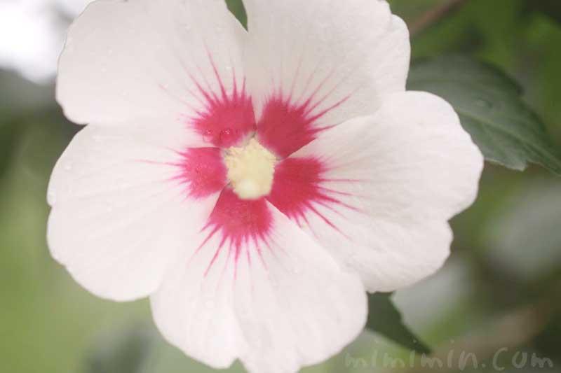 ムクゲ(白)の花の写真の画像