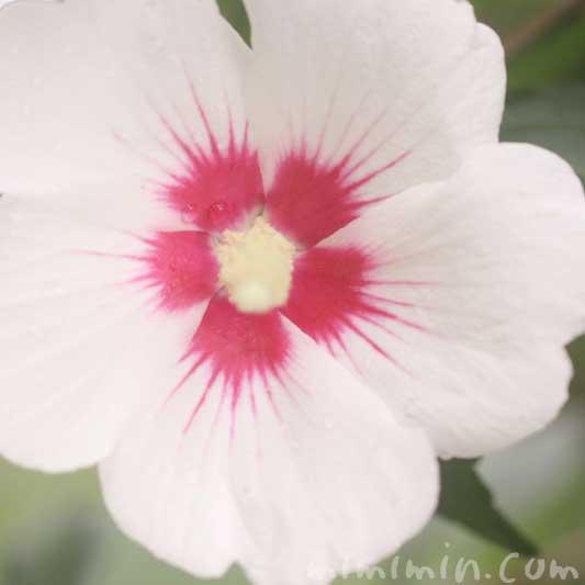 木槿(白色)の写真