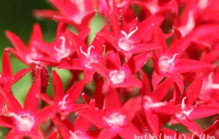 赤いペンタス