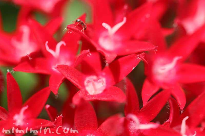 ペンタスの花言葉の画像