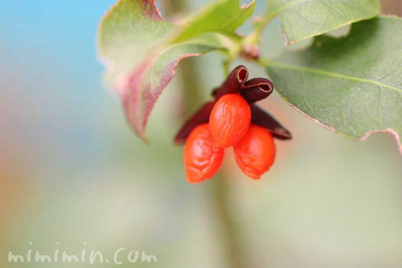 錦木の写真