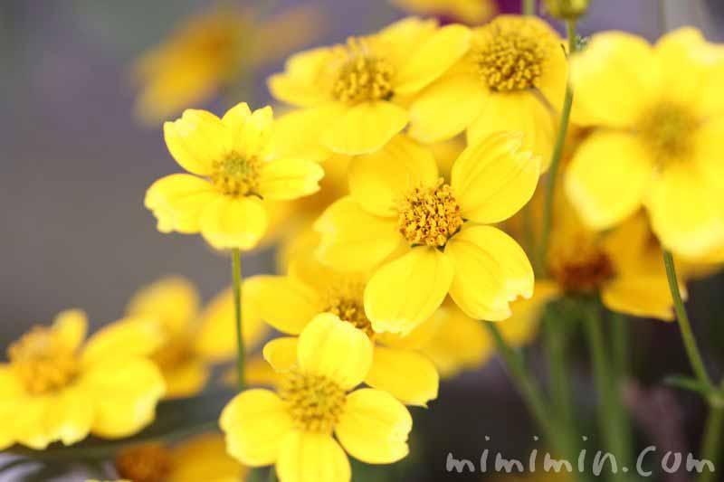 ウインターコスモスの花の写真