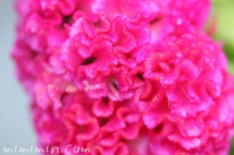 鶏冠鶏頭の花の写真