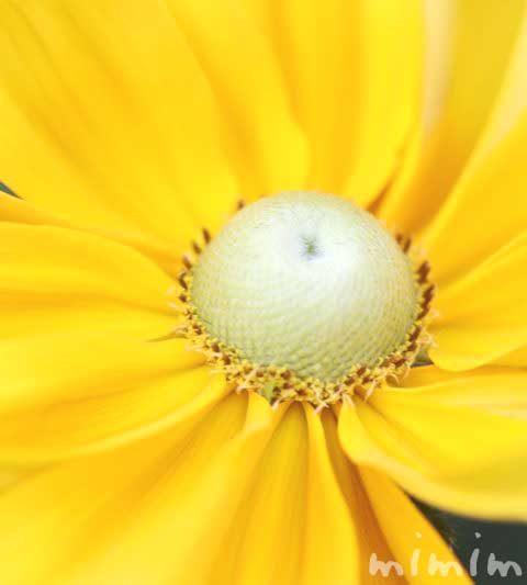 ルドベキアの花の写真&花言葉