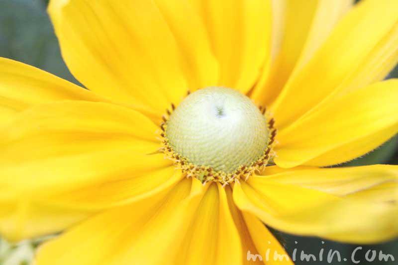 ルドベキア・黄色