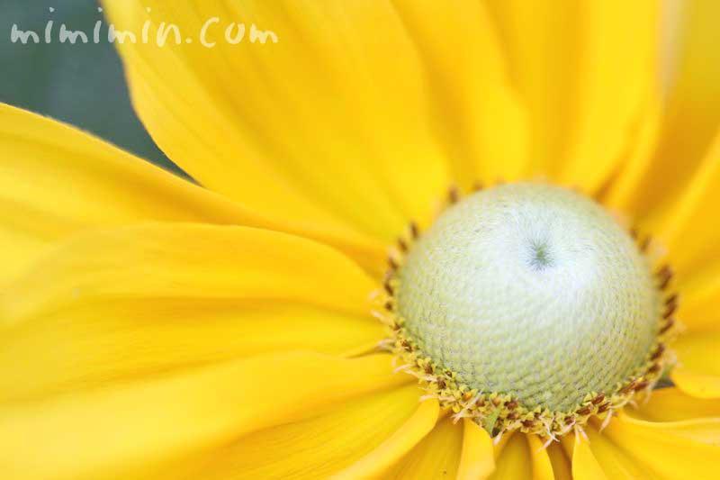 ルドベキアの花・黄色