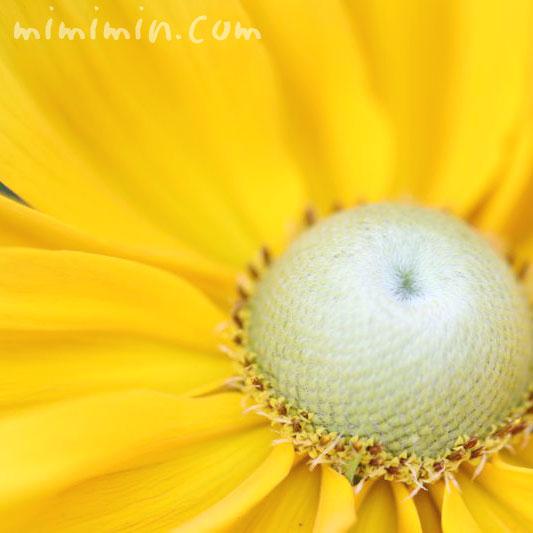 ルドベキアの花・黄色の写真