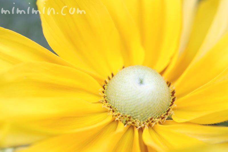 ルドベキアの花言葉の写真