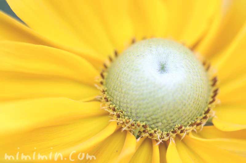 ルドベキアの花言葉