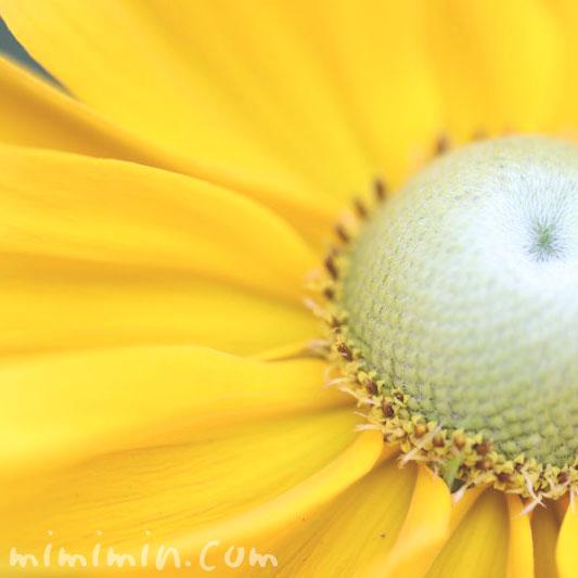 ルドベキアの花