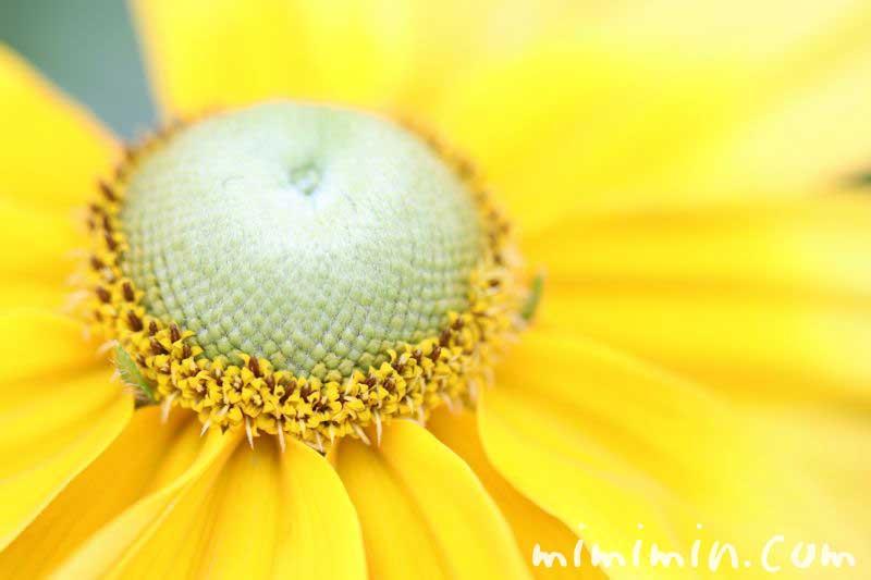 ルドベキアの誕生花の画像