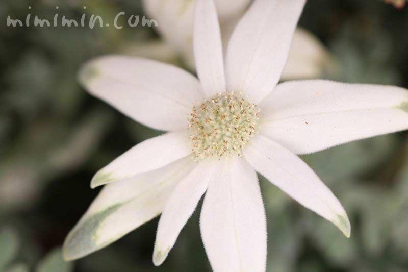 フランネルフラワー・細かい毛がはえた白い花の写真