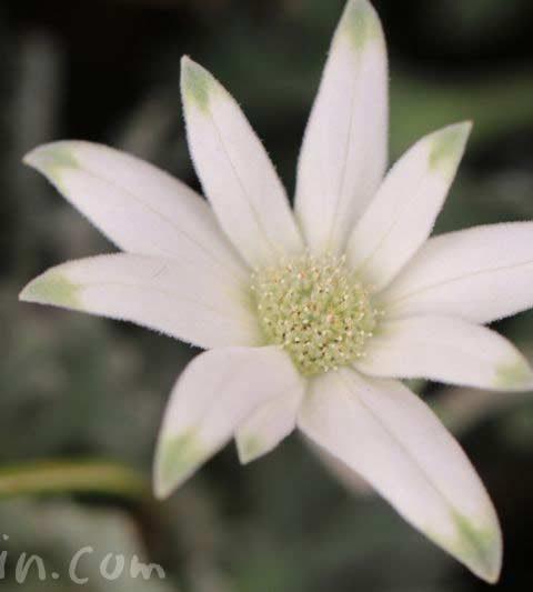 フランネルフラワーの花の写真・花言葉・名前の由来