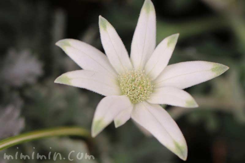 フランネルフラワー・毛がはえた花の画像