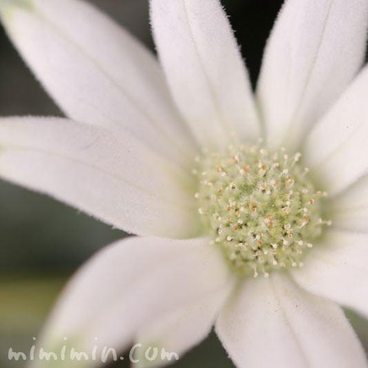 フランネルフラワー・うぶ毛がはえた白い花の画像
