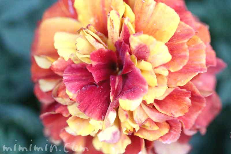 マリーゴールド・黄色×赤の斑の画像