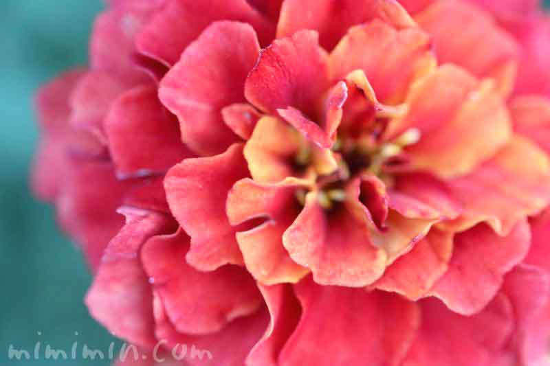 マリーゴールドの花の写真・黄色×赤の斑の写真