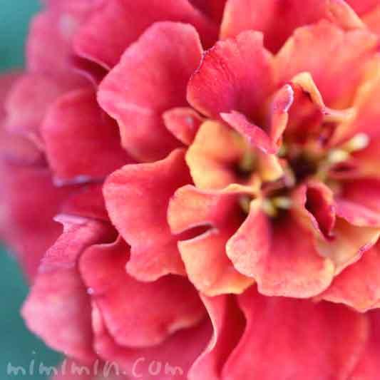 マリーゴールド・黄色×赤の写真