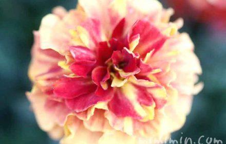 マリーゴールドの花の画像・クリーム色×赤の斑