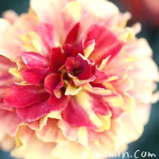 マリーゴールド・クリーム色×赤の画像