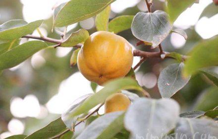 柿の実と柿の花言葉