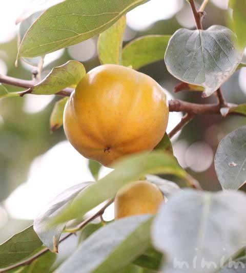 柿の効能・柿の花言葉