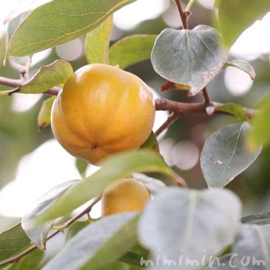 柿の実の写真・花言葉の画像
