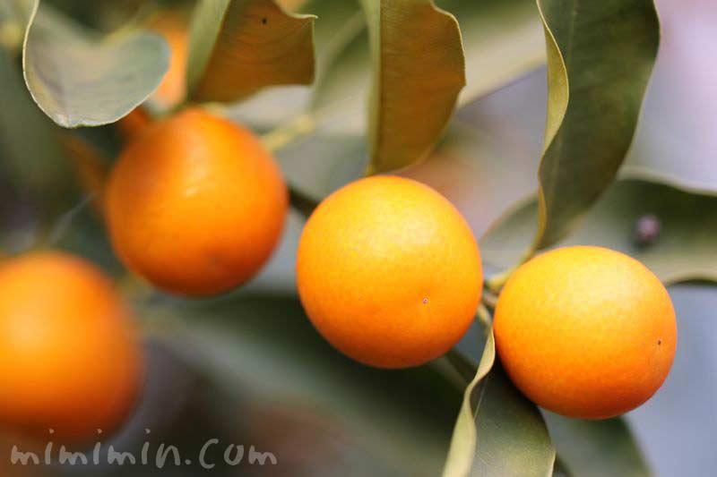 金柑の実・花言葉の写真