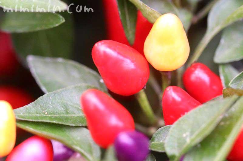 鑑賞用トウガラシ・赤と紫と黄色の画像