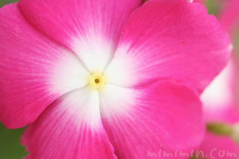 ニチニチソウ(ピンク)の写真・花言葉の画像
