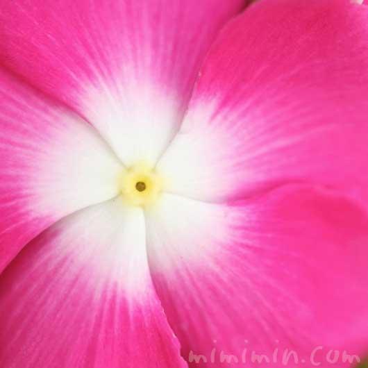 ニチニチソウ(ピンク)の花の写真・花言葉の画像