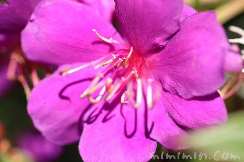 シコンノボタンの花(紫)