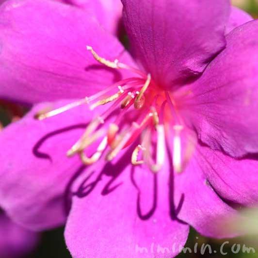 紫紺野牡丹の花の