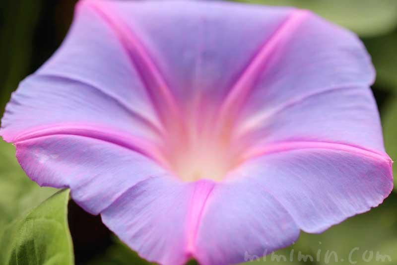 オーシャンブルーの花