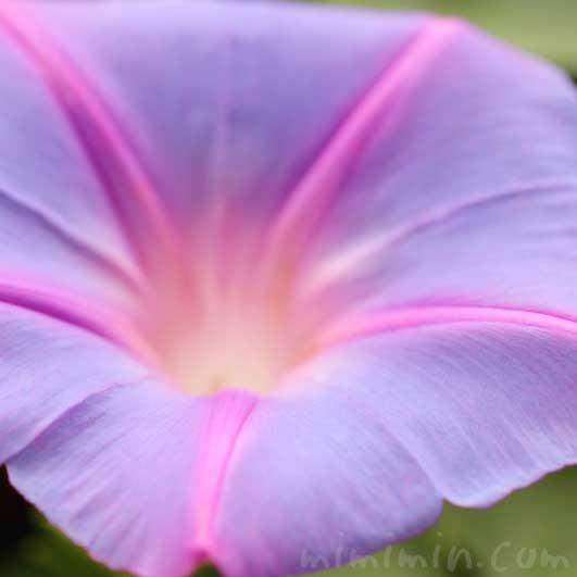 オーシャンブルーの花の画像