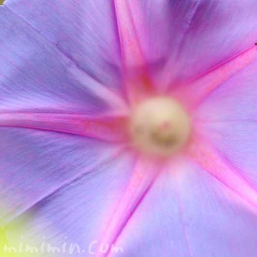 朝顔・オーシャンブルーの花