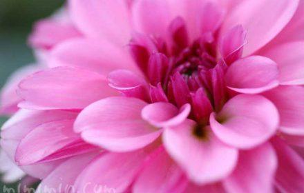 ダリアの花言葉と画像