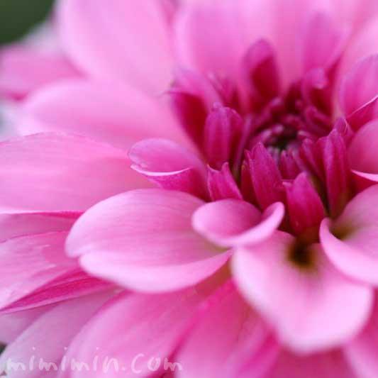 ダリアの花言葉と花の写真