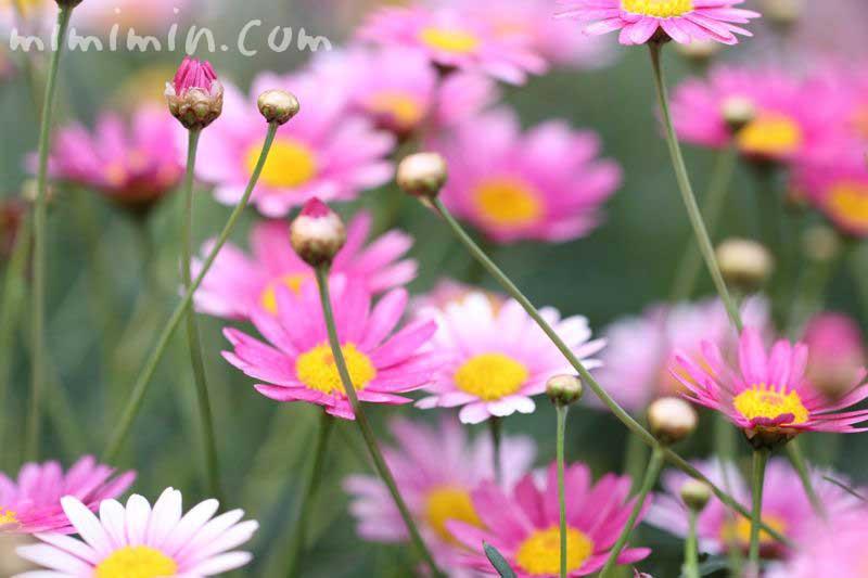 マーガレット 誕生花の写真
