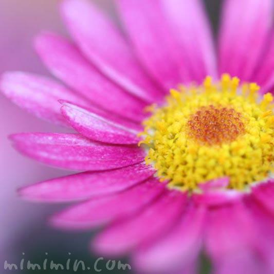 マーガレット 花言葉の画像