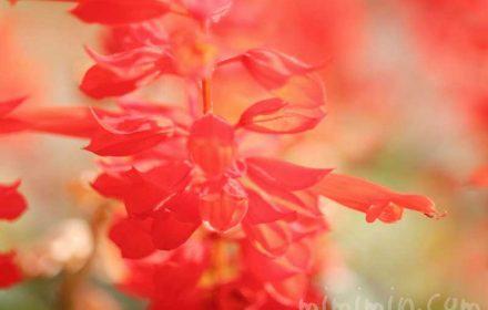 サルビア(赤色)の写真と花言葉