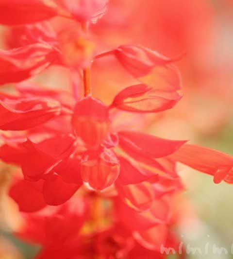赤いサルビア(花の写真&花言葉)