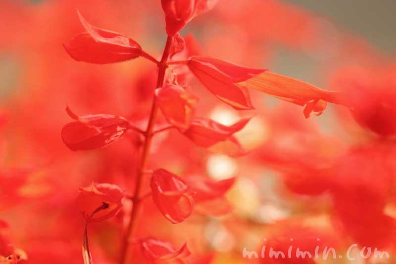 サルビア(赤)の写真&花言葉の画像