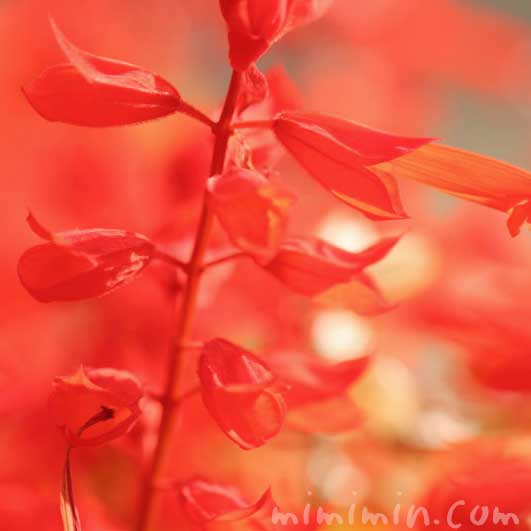 サルビア・スプレンデンス(赤色)の写真&花言葉