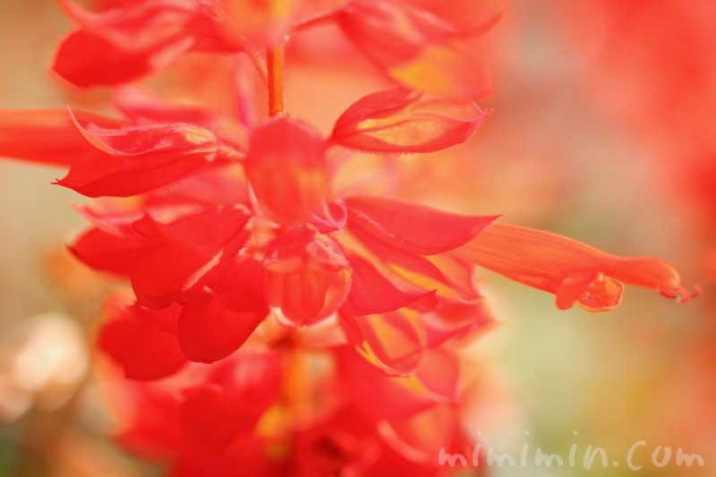 サルビア(赤)の花の写真&花言葉