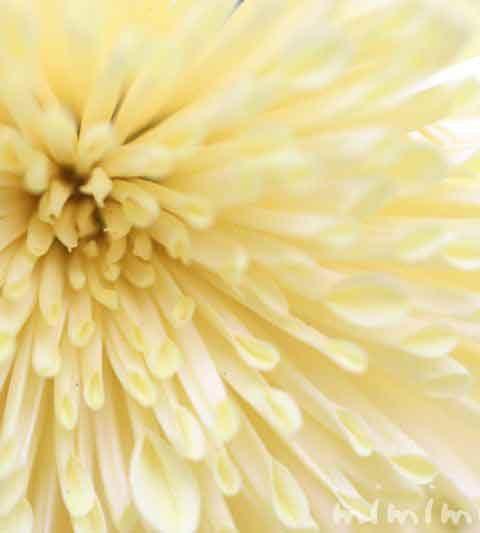 菊(キク)の花言葉・効能