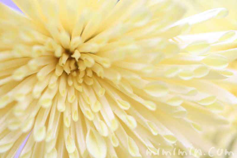 菊の花(薄い黄色)の写真