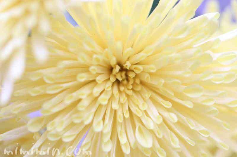 菊の花(薄い黄色)