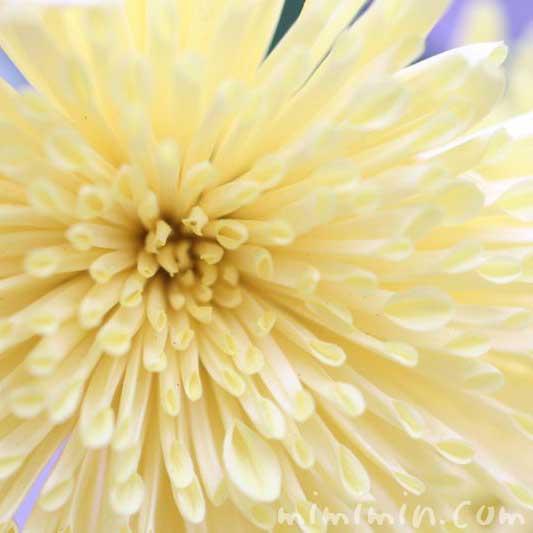 菊(薄い黄色)の画像